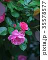 バラ 花 植物の写真 35578577