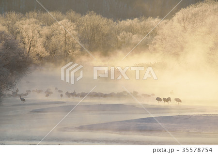 朝陽に染まる樹氷とタンチョウの群れ(北海道・鶴居) 35578754