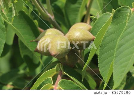 オニグルミの果実 35579290