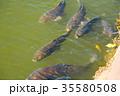 たくさんいる池の鯉 お城のお堀 泳ぐ鯉 35580508