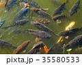 たくさんいる池の鯉 お城のお堀 泳ぐ鯉 35580533