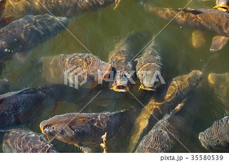 たくさんいる池の鯉 お城のお堀 泳ぐ鯉 35580539