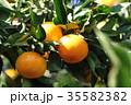 みかん 実り 果物の写真 35582382