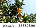 みかん 実り 果物の写真 35582390