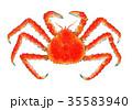 タラバガニ 水彩画 イラストのイラスト 35583940