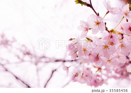 桜 35585456
