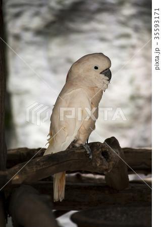 White Cockatooの写真素材 [35593171] - PIXTA