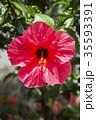 植物 花 ハイビスカスの写真 35593391