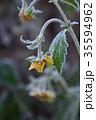霜 植物 黄色の写真 35594962