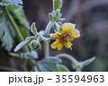 霜 植物 黄色の写真 35594963