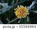 霜 植物 黄色の写真 35594964