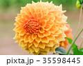 花 ヒナギク お花の写真 35598445