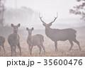 霧の奏で出会ったエゾシカの群れ(北海道) 35600476