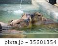 カピバラ 動物 げっ歯目の写真 35601354