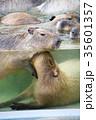 カピバラ 動物 げっ歯目の写真 35601357