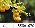 橘 35601670