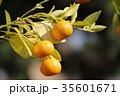 橘 35601671