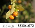 橘 35601672