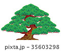 松の木 35603298