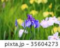 菖蒲 花菖蒲 花の写真 35604273
