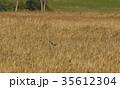 ハイイロチュウヒ 雌 渡良瀬遊水地 ラムサール条約 自然 ススキ 葦 環境 栃木県 小山市  35612304
