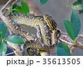 蛇 ハブ 35613505