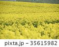 菜の花 菜の花畑 花の写真 35615982