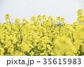 菜の花 菜の花畑 花の写真 35615983