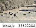 丹頂鶴 冬 雪裡川の写真 35622288