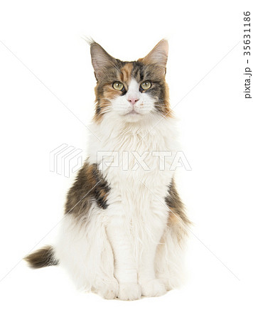 Pretty sitting female adult main coon cat  35631186