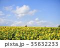 ヒマワリ 夏 向日葵畑の写真 35632233