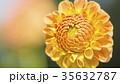 ダリア 花 植物の写真 35632787