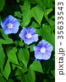 植物 花 朝顔の写真 35633543