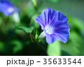 植物 花 朝顔の写真 35633544