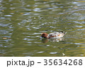 鳥 緋鳥鴨 池の写真 35634268