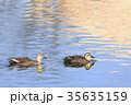 軽鴨 水鳥 鳥の写真 35635159