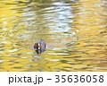 鳥 緋鳥鴨 池の写真 35636058