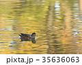 紅葉時期のヒドリガモ 35636063