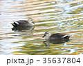軽鴨 水鳥 鳥の写真 35637804