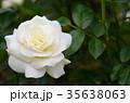 バラ 花 薔薇の写真 35638063