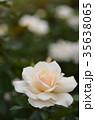 バラ 花 薔薇の写真 35638065