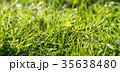 グリーン 緑色 草の写真 35638480