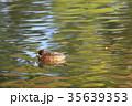 紅葉時期のヒドリガモ 35639353