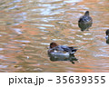鳥 緋鳥鴨 池の写真 35639355