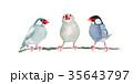 文鳥 35643797