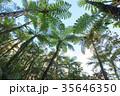 シダ植物 ヒカゲヘゴ 沖縄 35646350