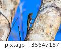 リュウキュウキノボリトカゲ オキナワキノボリトカゲ 35647187