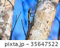 リュウキュウキノボリトカゲ オキナワキノボリトカゲ 35647522