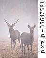 霧の奏で出会ったエゾシカの群れ(北海道) 35647581