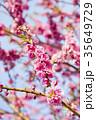 桃 花 春の写真 35649729